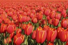 tulipano del campo Fotografia Stock Libera da Diritti