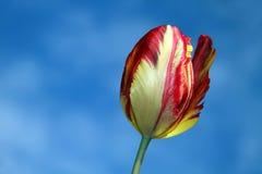 Tulipano del cielo immagini stock
