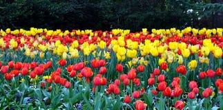 tulipano del giardino Fotografie Stock