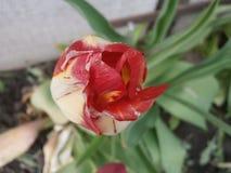 Tulipano del pappagallo immagini stock