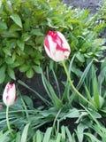 Tulipano del pappagallo immagine stock