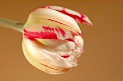 Tulipano del primo piano Immagini Stock