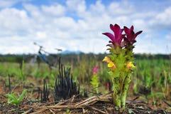 Tulipano del Siam Immagine Stock Libera da Diritti