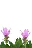 Tulipano del Siam Fotografie Stock Libere da Diritti