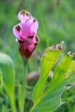 Tulipano del Siam o tulipano di estate Fotografie Stock Libere da Diritti