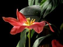 Tulipano del sole Immagine Stock