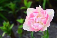 Tulipano delicatamente rosa Fotografia Stock