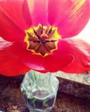 Tulipano dell'Arkansas immagini stock libere da diritti