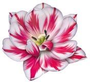 Tulipano dell'ottomano Fotografie Stock
