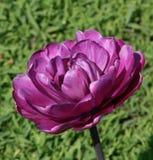 Tulipano della Borgogna Fotografia Stock Libera da Diritti