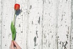 Tulipano della holding della mano Fotografie Stock