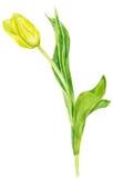 Tulipano della pittura dell'acquerello Tulipano giallo su fondo bianco Immagine Stock Libera da Diritti