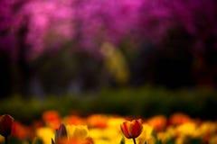 Tulipano della sorgente Fotografie Stock