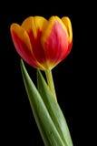 Tulipano della sorgente Fotografie Stock Libere da Diritti