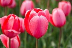 Tulipano dentellare Fotografie Stock Libere da Diritti
