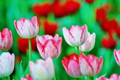 Tulipano dentellare Immagine Stock Libera da Diritti