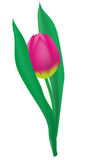 Tulipano dentellare Immagine Stock