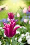 tulipano dentellare della sosta Fotografia Stock Libera da Diritti