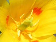 Tulipano dentro Fotografia Stock