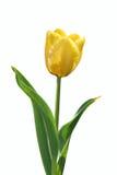 Tulipano giallo fotografie stock libere da diritti