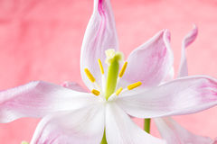 Tulipano di fioritura rosa Fotografie Stock Libere da Diritti