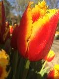 Tulipano di giallo arancio Fotografie Stock