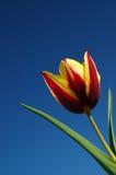 Tulipano di Keizerskroon Fotografie Stock Libere da Diritti