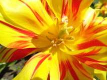 Tulipano di Monsella ingrandetto Fotografie Stock