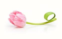 Tulipano di rosa del fiore della primavera Immagine Stock