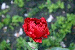 Tulipano di rosso del fiore Fotografia Stock Libera da Diritti