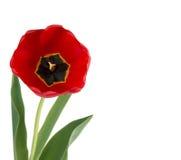 Tulipano di rosso del fiore Immagini Stock