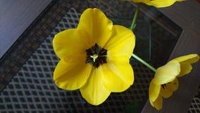 Tulipano di Yelow Fotografie Stock Libere da Diritti