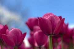 Tulipano e cielo Immagini Stock