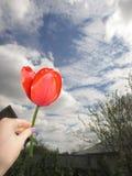 Tulipano e cielo blu rossi fotografie stock libere da diritti