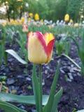 Tulipano e gocce di pioggia Immagini Stock