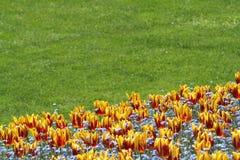 Tulipano e prato inglese fotografia stock libera da diritti