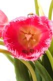 Tulipano e signora Bugs immagine stock