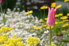 Tulipano in estate fotografia stock libera da diritti