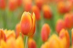 Tulipano fresco dell'arancia ad rem nel letto di fiore durante la stagione primaverile con lo spazio della copia immagini stock libere da diritti