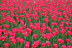 Tulipano in Gatineau Il Canada, America settentrionale Fotografie Stock