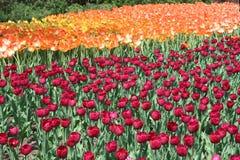 Tulipano in Gatineau Il Canada, America settentrionale fotografia stock