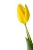 Tulipano giallo Fotografia Stock