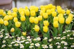 Tulipano giallo #01 Fotografie Stock Libere da Diritti