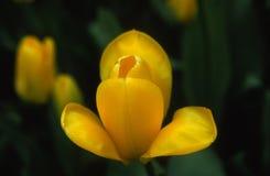 Tulipano giallo Immagine Stock Libera da Diritti
