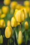 Tulipano giallo Fotografia Stock Libera da Diritti