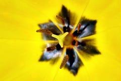 Tulipano giallo aperto nell'ambito dei precedenti del sole immagini stock libere da diritti