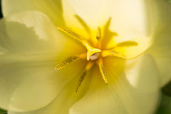 Tulipano giallo con i dettagli Immagini Stock Libere da Diritti