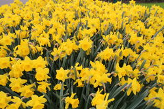 Tulipano giallo del fiore fotografia stock