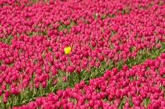 Tulipano giallo dello straniero fotografie stock