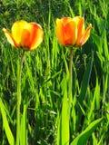 Tulipano giallo due fotografie stock libere da diritti